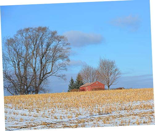 Corn Field in Snow